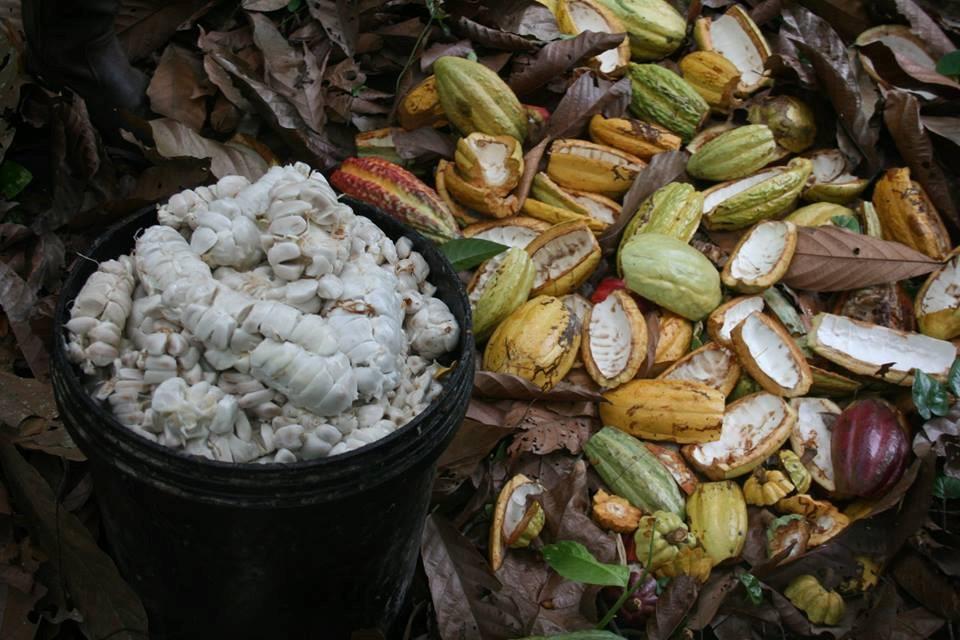 Raccolta_Cacao_Ecuador_2016_Mani_Tese
