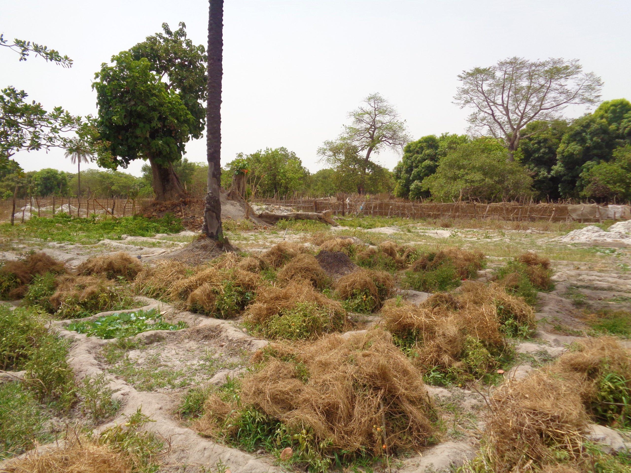 paglia di riso per proteggere le piante pomodoro dal sole_2329_GB_mani_tese_2017