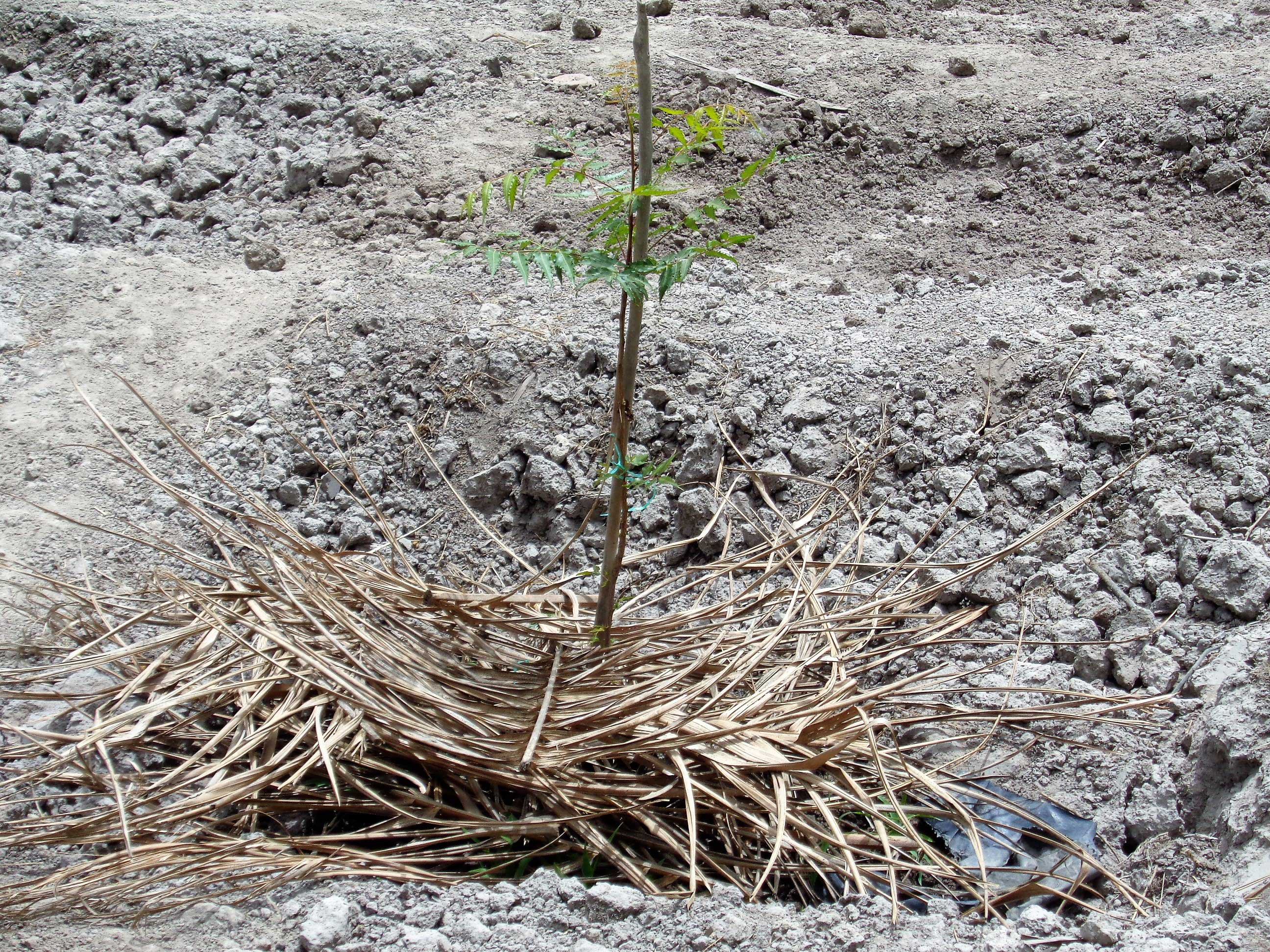 pianta-di-neem-nell'orto_2329_mani_tese_2017
