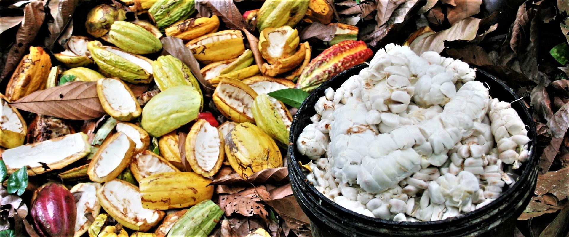 Cacao_Ecuador_Mani_Tese_2017
