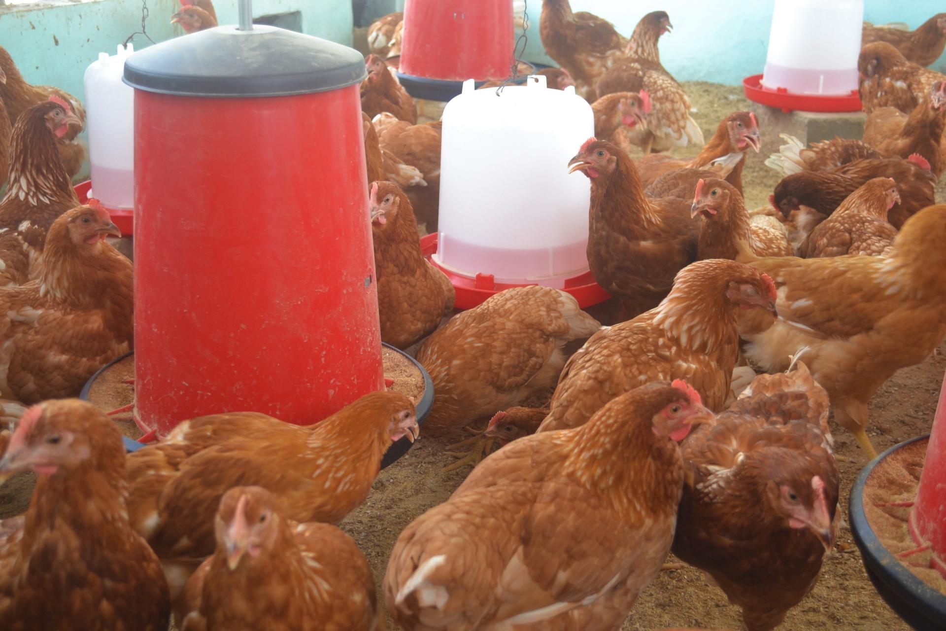 Galline ovaiole per la produzione di uova Guinea Bissau Mani Tese 2017