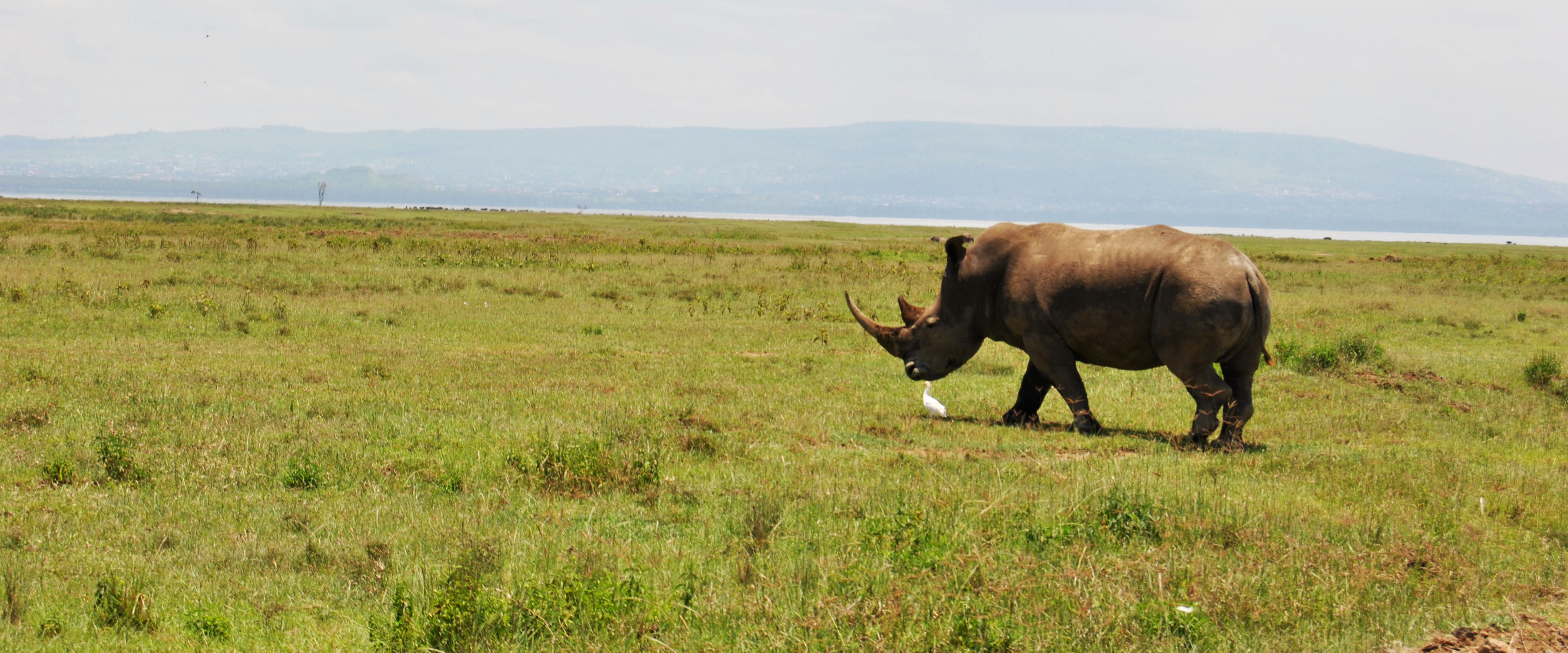 Nakuru rinoceronte savana Kenya Mani Tese 2017