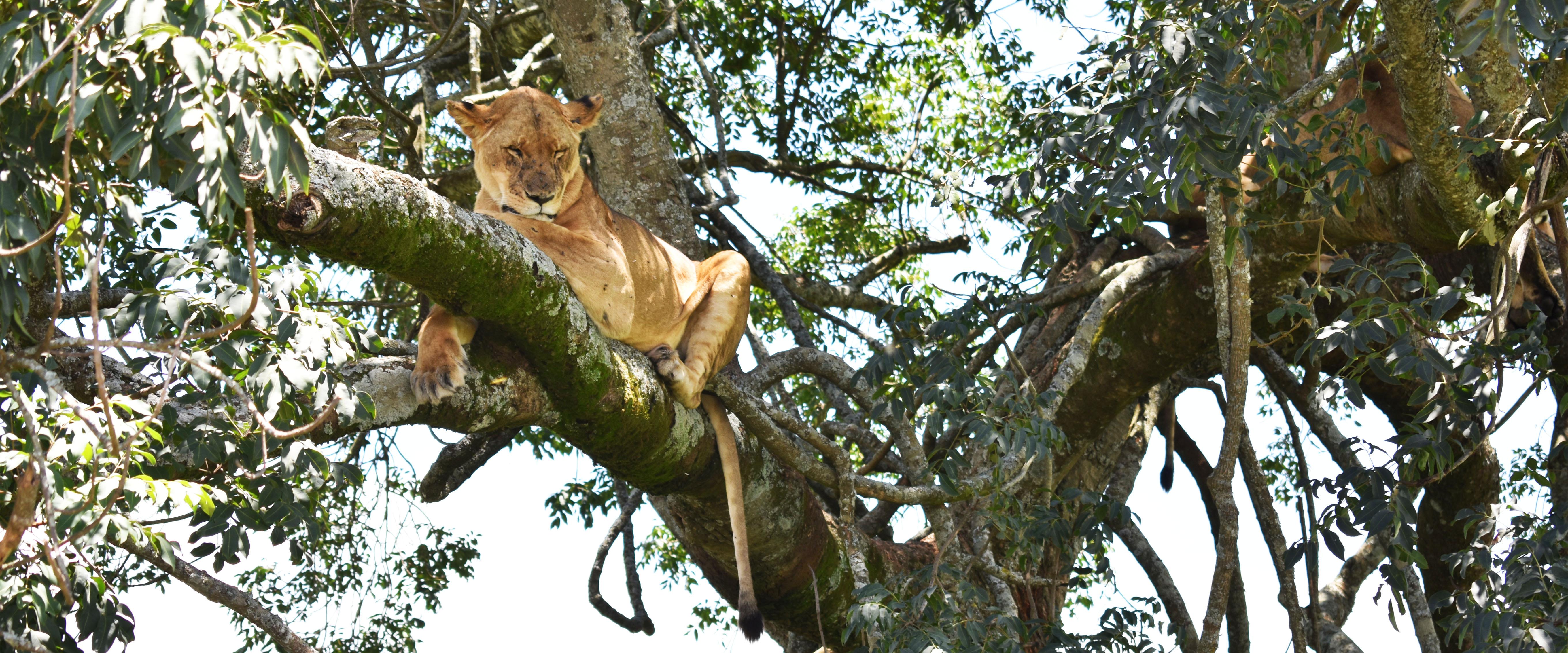 Nakuru savana leonessa Kenya Mani Tese 2017