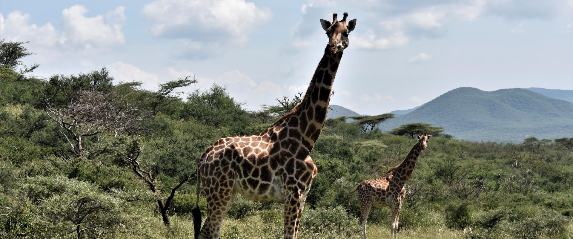 giraffa foresta Kenya Mani Tese 2017
