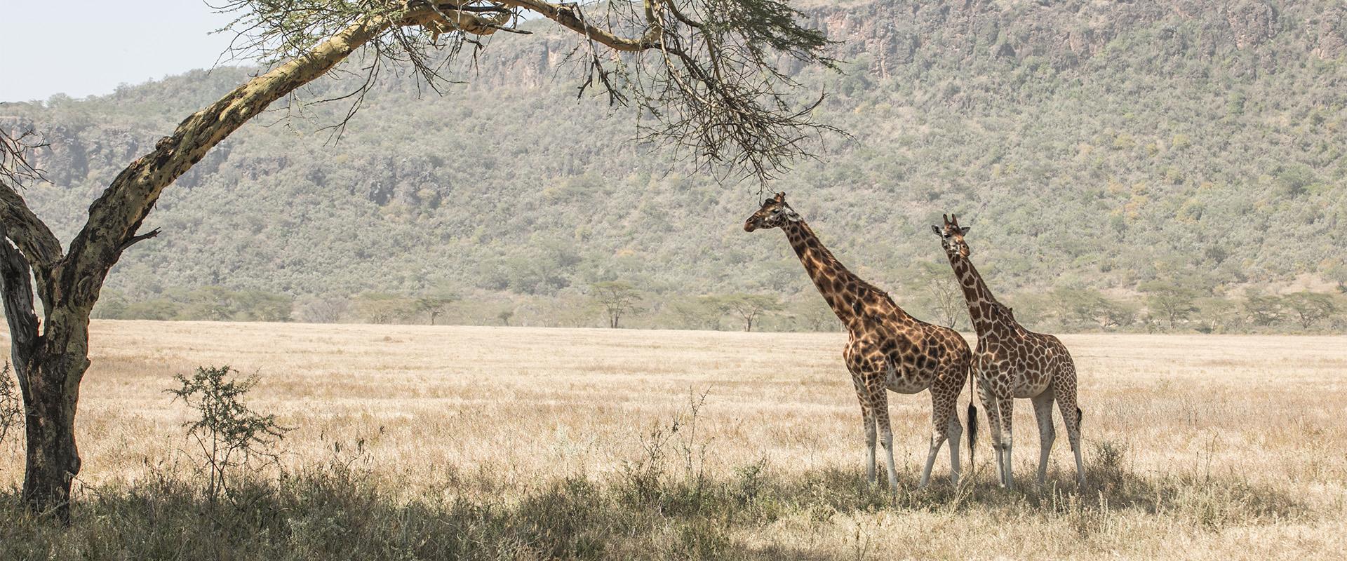 giraffe albero nakuru Kenya Mani Tese 2018