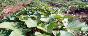 patata dolce campo sperimentale tampegre Benin Mani Tese 2018