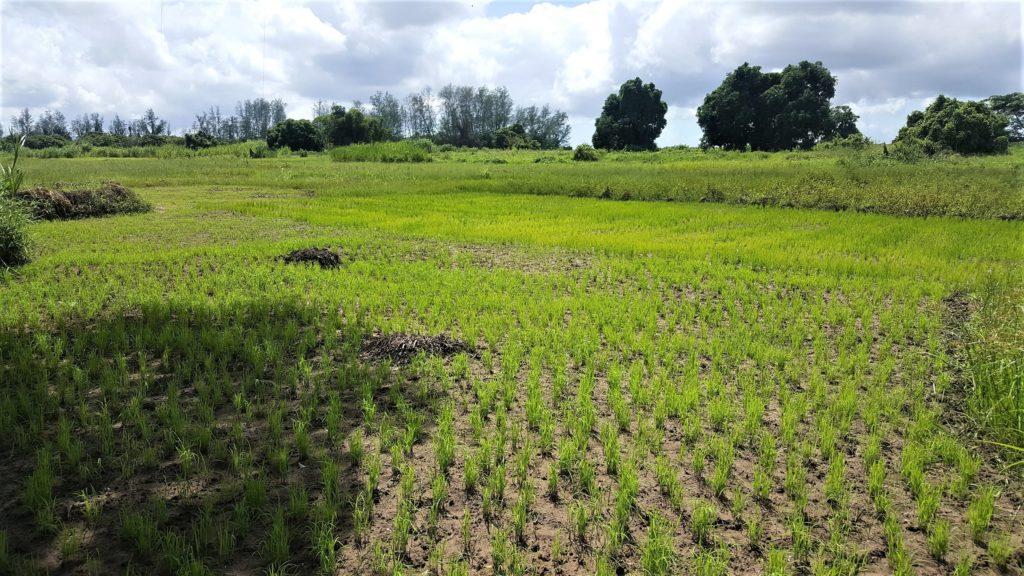 in mozambico le piogge non fermano attività agricola mani tese 2020_3